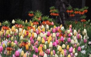 Tulpen in bloei. Foto Artis, Ronald van Weeren