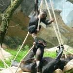 Schimpansen-in-Takamanda-Zoo-Osnabrück