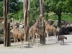 Zoo Os_Giraffen auf Samburu