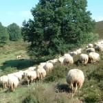 Rabo-en-schapen-2007-150x150